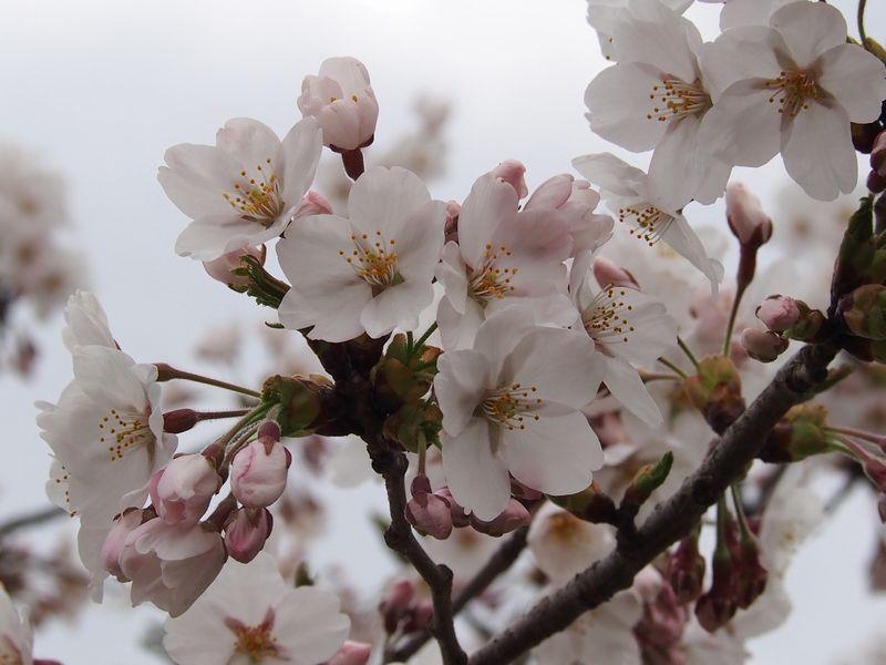 桜の開花情報   新着情報   休暇村乳頭温泉郷【公式】