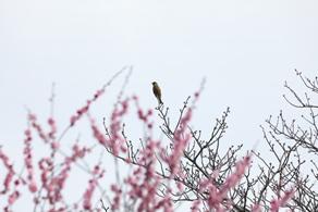 広田梅林の梅祭り♪