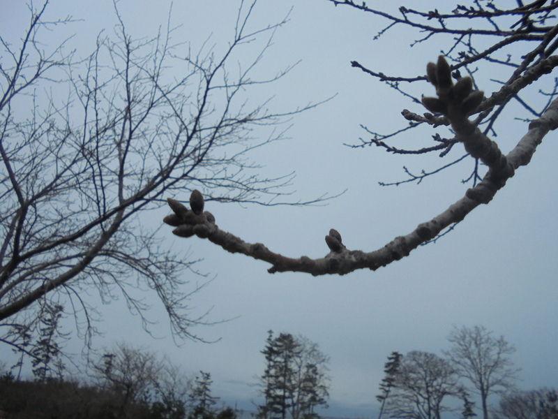 桜の蕾も冬を感じているようです。