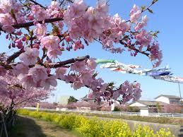 渥美半島「春爛漫な花見頃」を迎えました。