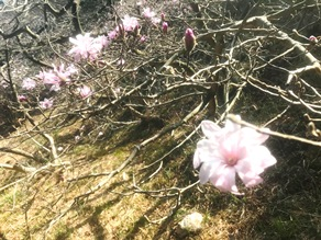 もうすぐ開花!?古代の桜シデコブシ