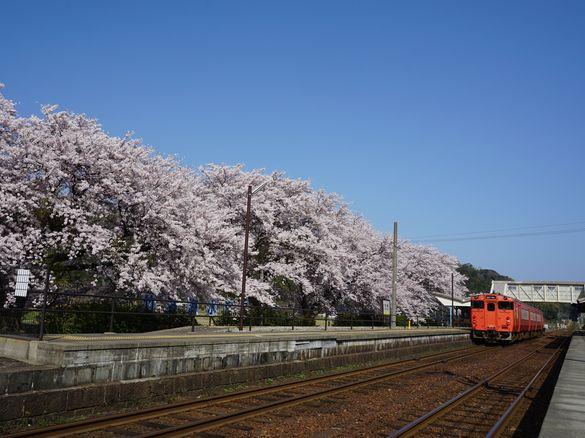 桜はいつ咲くの?