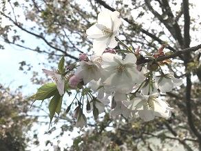 ついに開花!桜が咲いています♪