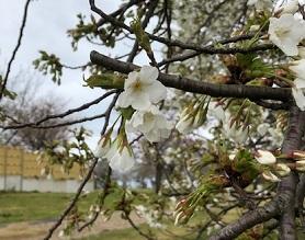 休暇村園地内で「夜桜カフェ」始まります。