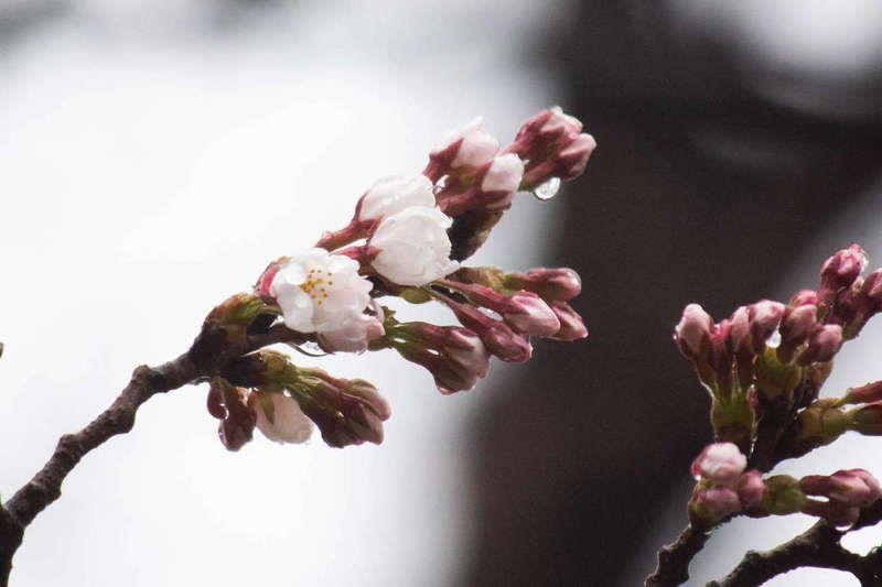 高田の桜「開花宣言」★観桜会は15日まで
