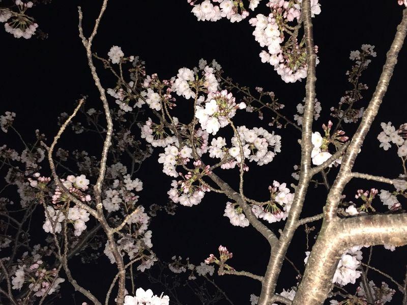 桜の楽しみ方♪