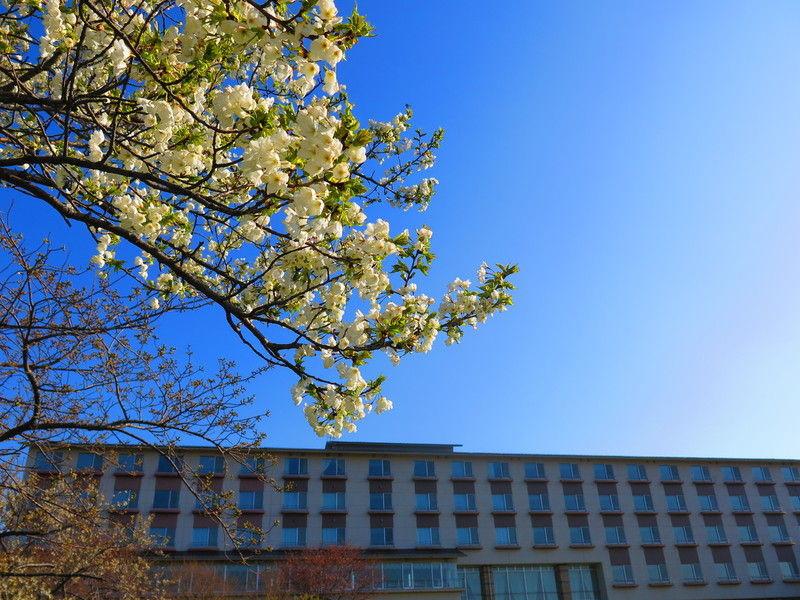 ♪桜開花情報♪