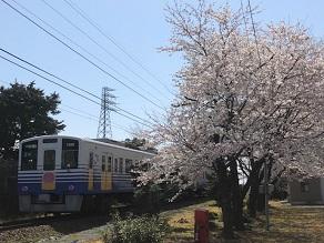 【発見】えちぜん鉄道沿いに映える 気になる一本桜!?