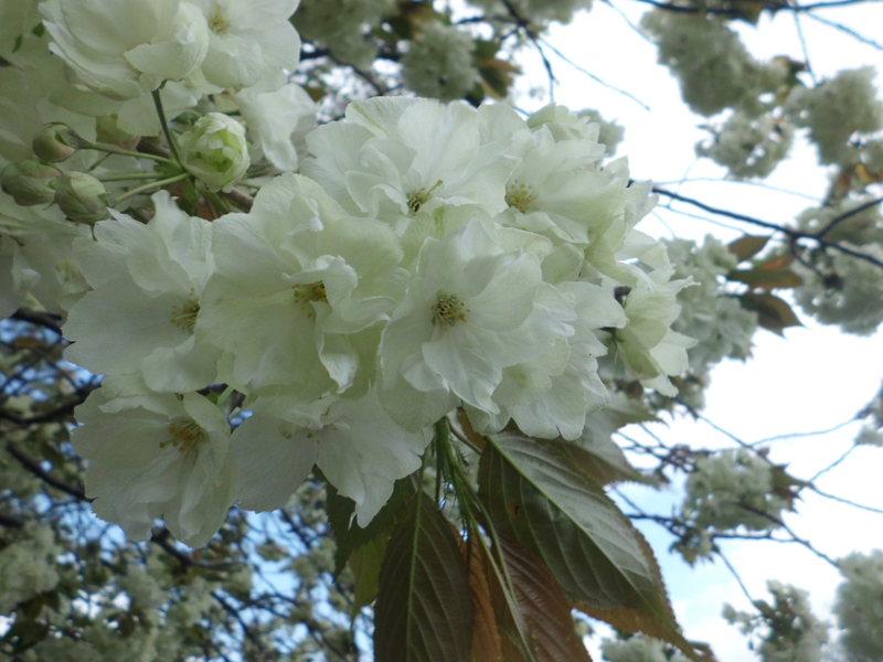 和歌山に数本しかない!?『緑色の桜』
