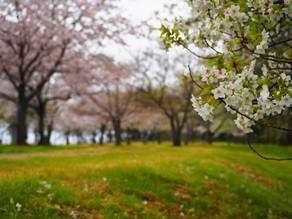 桜並木もございます♪