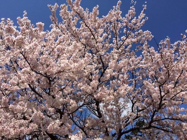 満開の桜、一番の見頃を迎えました。