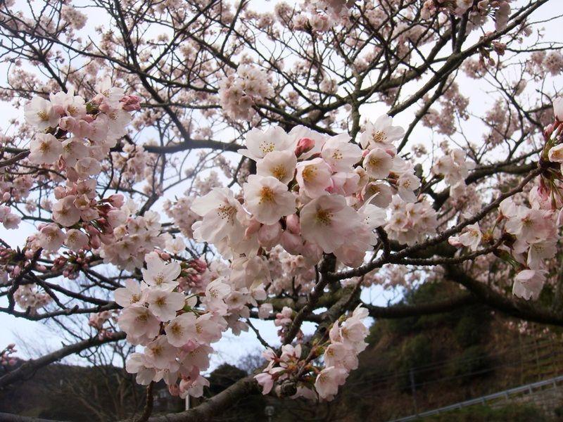 ~今年の桜も本日まで~