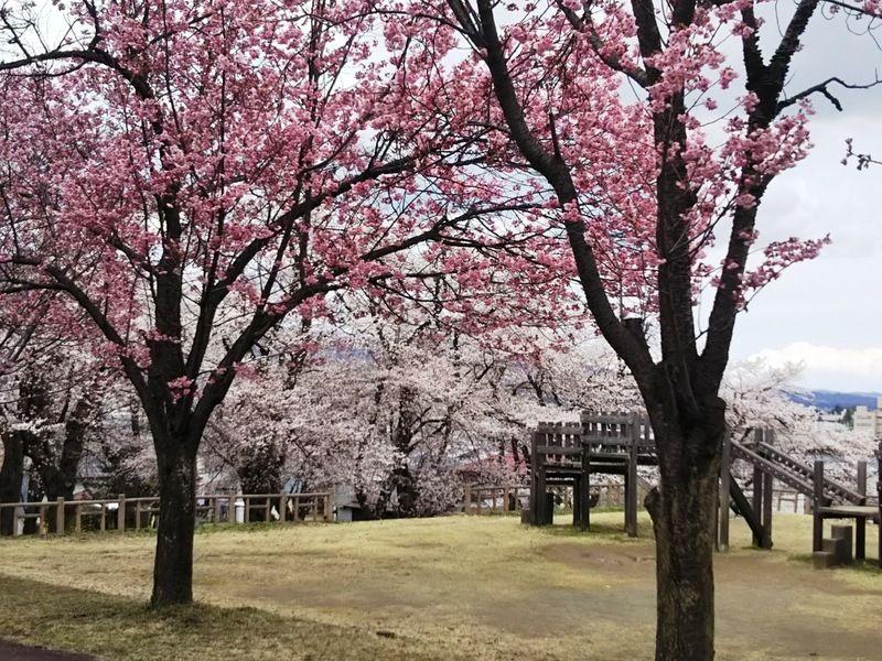 高田以外にも、桜スポットをご紹介いたします