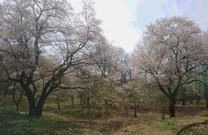 ドリーネと桜