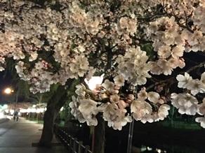 桜開花情報<br>「今週末には・・・」