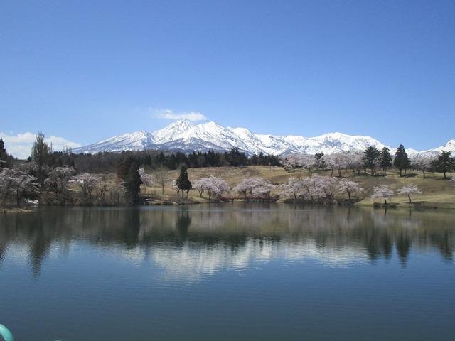 松ケ峰の桜が見ごろです!