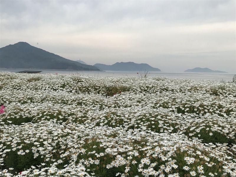 浦島伝説の残る荘内半島のお花畑