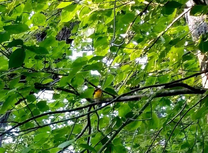 夏の鳥キビタキ