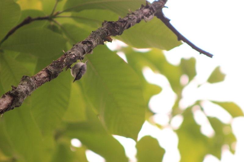樹幹を動き回る天才、ゴジュウカラ