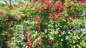 薔薇の季節到来