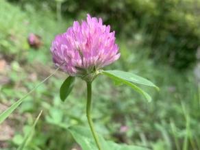 芝生に咲くピンク色の花