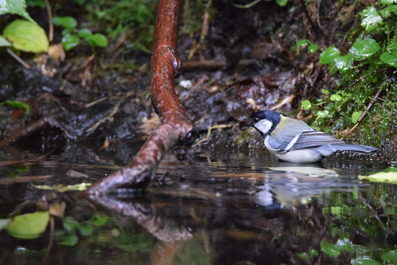 小鳥の水浴び ~シジュウカラ~