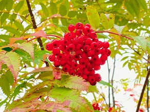 ナナカマドの実が綺麗に赤く色付いています!
