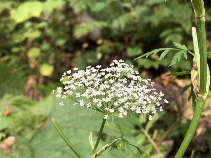 秋に咲く白い花