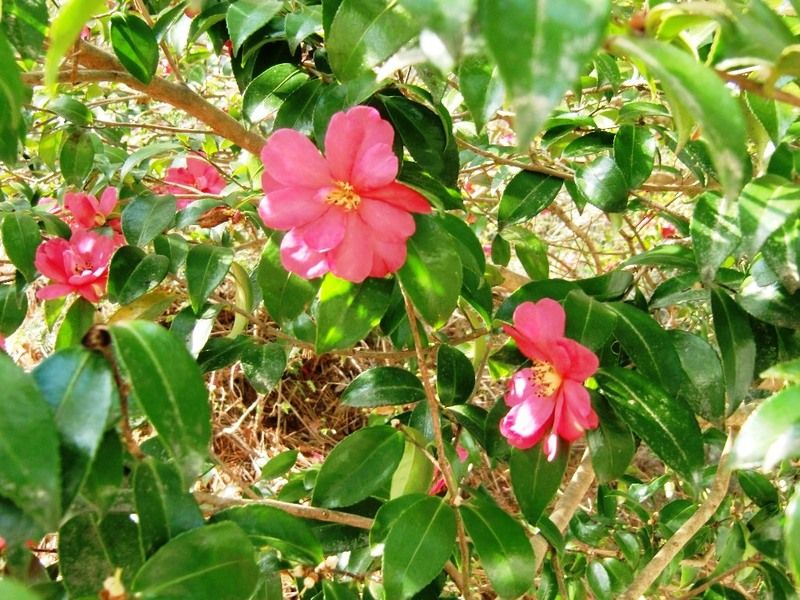 サザンカ咲き始めました。