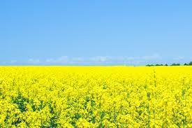 渥美半島『菜の花まつり』開催まであと1週間♪