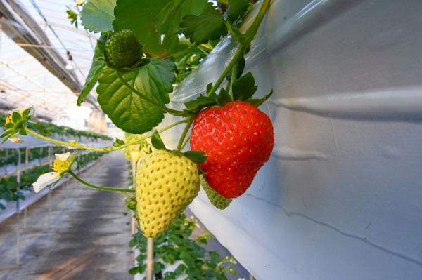 イチゴのシーズンが到来!イチゴ狩りに行こう♪