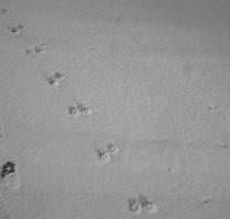 キタキツネの足跡