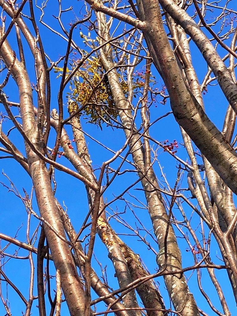 真冬の木の枝に真っ赤な実