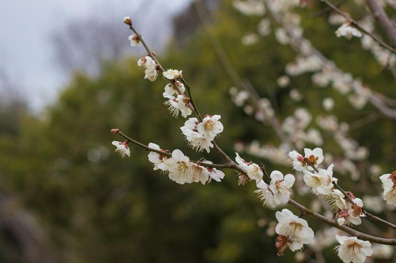 初春を飾る紅白の梅の花