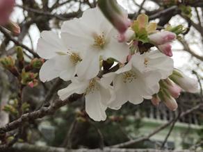 さくらが咲き始めました!