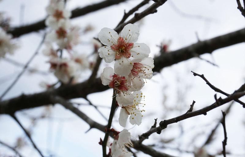 太平洋を望む梅の花