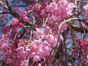 今年の桜はいつ開花?