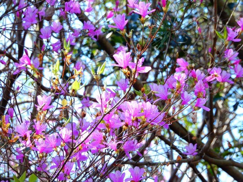 春を告げるお花たち