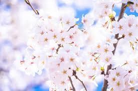 奥能登!桜スポット