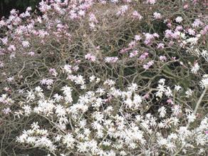 天然記念物シデコブシ開花情報~アレもばっちり撮ってきました~