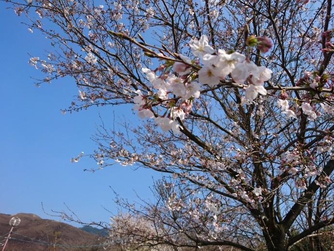 桜の開花情報♪