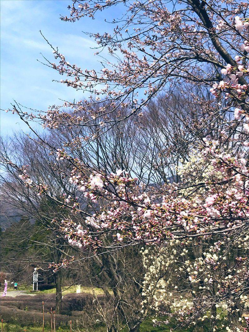 咲いた!休暇村の桜!