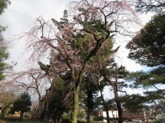 石川の桜を楽しみませんか?~兼六園~