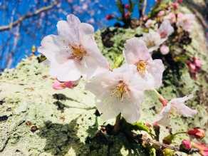 ~春の南伊豆~ソメイヨシノの季節が到来!