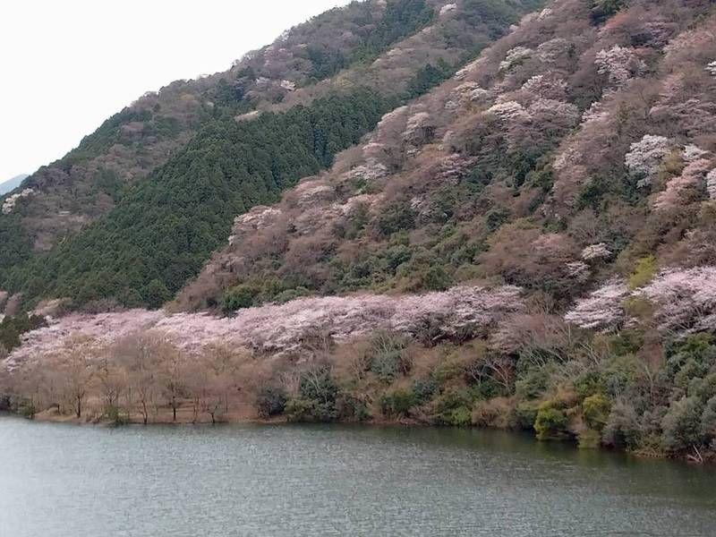 開花始めました!淡路島の花見名所「諭鶴羽ダム」!