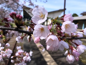 休暇村周辺の桜 5~7分咲き