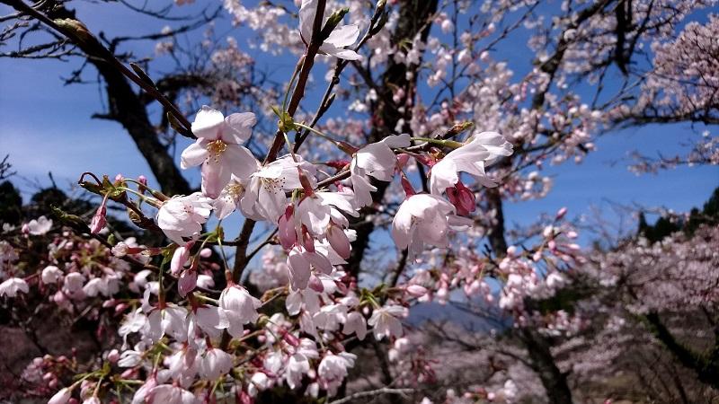 高森町のお花見スポット!