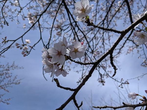 園地内の桜、もう少しで満開!♪