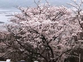 園地の桜 もうすぐ満開!