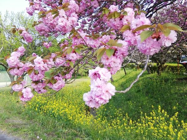 「桜」ほぼ満開です!!